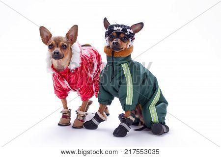 Miniature chihuahua and terrier dogs in clothing. Beautiful purebred russian chihuahua and terrier toys wearing cute winter sport suits, studio portrait. Russian toy terrier in modern sport apparel.
