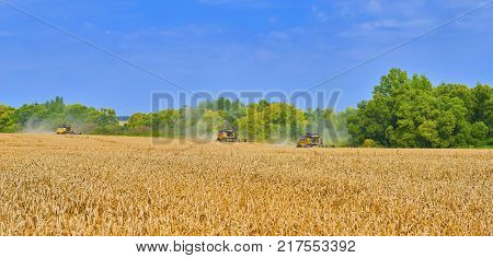 Summer August wheat harvesting in Russia, Europe. Working rye harvester combine machines on gold wheat fields. Rye corn harvesters on gold wheat fields. Agricultural landscape ripe wheat harvesting