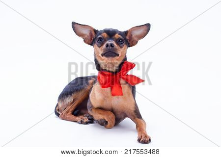 Little charming toy-terrier, portrait. Studio shot of lovely russian toy-terrier with red ribbon isolated on white background. Perfect gift for New Year.