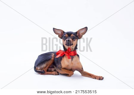 Tiny toy-terrier, studio shot. Beautiful sleek-haired russian toy-terrier lying isolated on white background. Miniature domestic dog.