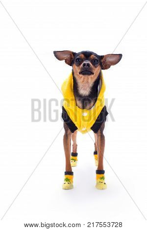 Cute russian toy-terrier, front view. Lovely sleek-haired toy-terrier in modern yellow clothes isolated on white background, studio shot. Stylish miniature dog.