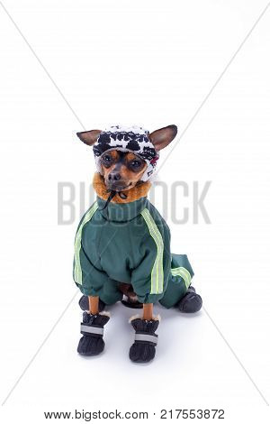 Cute terrier dog in clothes, studio shot. Tiny pedigree dog dressed in winter sport clothes sitting isolated on white background. Mini canine fashion style.