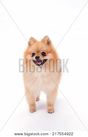 Adorable pomeranian spitz, studio portrait. Cute pomeranian puppy standing on white background, front view. Purebred domestic pet.