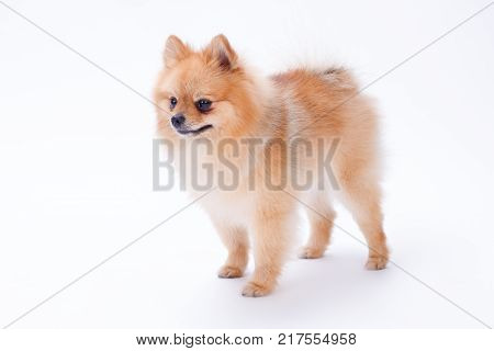 Pomeranian puppy isolated on white background. Cute little pomeranian red color dog isolated on white background. Portrait of fluffy orange puppy.