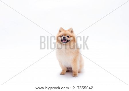 Cute young pomeranian dog. Beautiful puppy spitz sitting isolated on white background, studio shot. Ridiculous miniature dog.