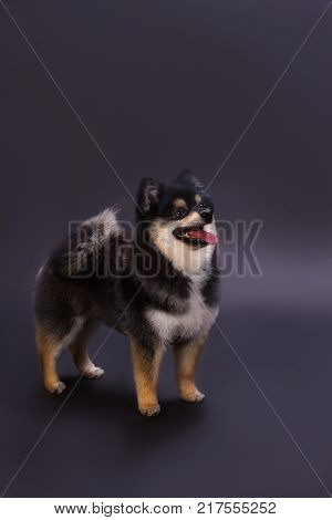 Pedigree fluffy dog, studio shot. Beautiful dark color pomeranian spitz on dark gradient background. Little domestic friend.