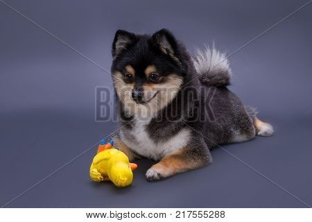 Portrait of pomeranian spitz with toy. Black and white fluffy spitz lying with rubber yellow duck toy on dark gradient background, studio shot. Playful pedigree dog.