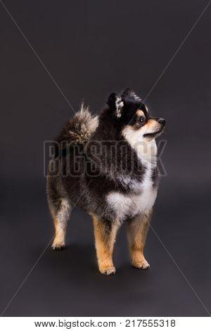 Purebred dark spitz, studio shot. Lovely pomeranian spitz standing on dark gradient background, studio portrait. Funny domestic dog.