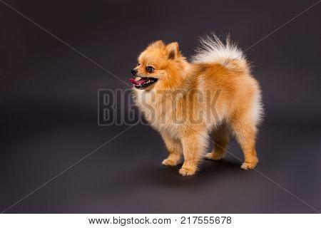 Orange pomeranian dog, black background. Cute young pomeranian spitz standing on black background, studio shot. Adorable furry puppy.