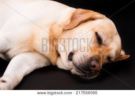 Cute yellow sleeping labrador, studio portrait. Blonde labrador dog sleeping on black background, studio shot close up.