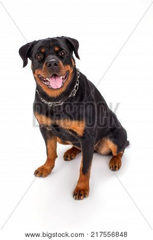 Cute young rottweiler, studio portrait. Beautiful young rottweiler dog sitting isolated on white background. Adorable pedigreed dog.