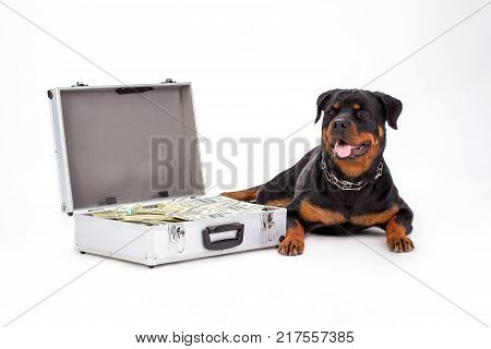 Suitcase full of money and large dog. Open diplomat with paper money and rottweiler dog isolated on white background, studio shot. Defender of your savings.