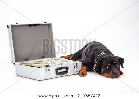 Rottweiler defending suitcase with money. Studio portrait of cute young purebred rottweiler lying near silver case with dollars. Guard of your wealth.