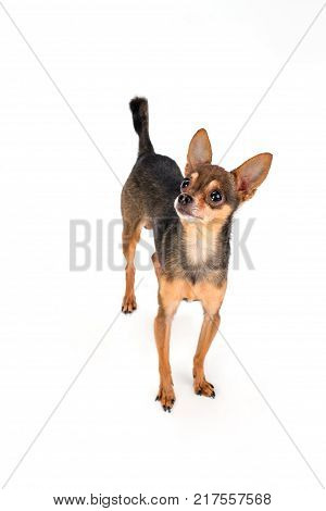 Charming sleek-haired russian toy-terrier. Little brown toy-terrier stnading isolated over white background, studio shot. Beautiful pedigreed gift.