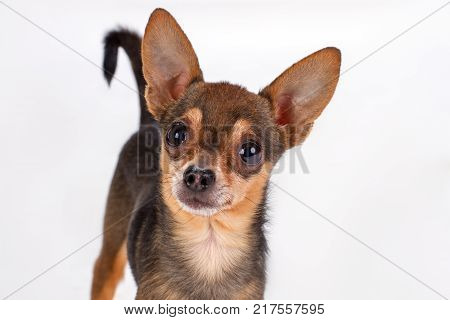 Cute toy-terrier, studio portrait. Adorable russian toy-terrier dog isolated on white background. Miniature sleek-haired puppy.