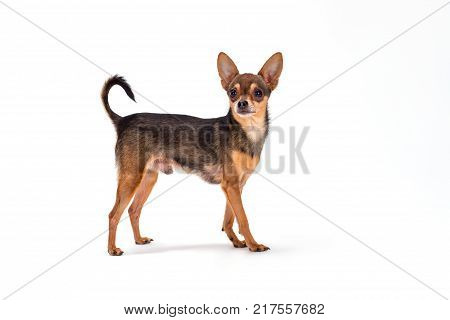 Cute pedigreed russian toy-terrier. Studio shot of lovely little sleek-haired toy-terrier standing isolated over white background.