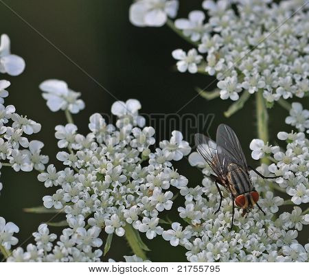 Tachinid Fly on White Flowers