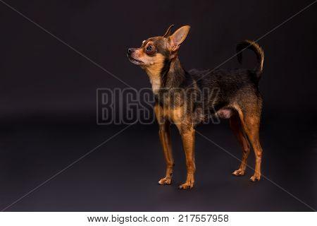Lovely toy-terrier puppy, studio shot. Beautiful russian terrier dog standing on dark gradient background, studio portrait.