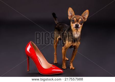 Russian toy-terrier and red heel. Cute sleek-haired toy-terrier and red lacquered shoe on high heel, studio shot. Lovely puppy and female shoe.