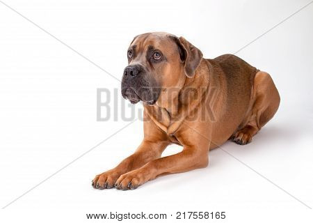 Close up portrait of mastiff cane corso. Brown cane corso dog lying isolated on white background, studio shot.