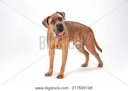 Cute cane corso, studio portrait. Attractive brown mastiff cane corso standing isolated on white, studio shot. Strong and beautiful purebred dog.