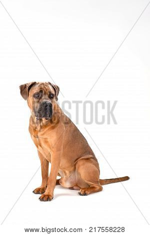 Brown cane corso dog, studio shot. Powerful and muscular mastiff boxer cane corso sitting isolated on white background, studio portrait.