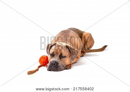 Sleeping cane corso, studio shot. Studio portrait of sleeping cane corso italiano dog with ball isolated on white background.