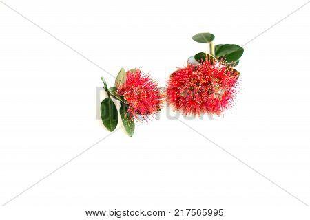 New Zealand Christmas tree or pohutukawa bright red flower closeup on white.