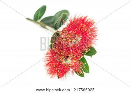 Bright Red pohutukawa flower closeup on white background