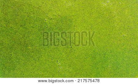 Wolffia globosa. Wolffia globosa or Fresh water Alga, Water Meal, Swamp Algae is local food for Thailand.
