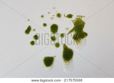 Wolffia globosa on table. Wolffia globosa or Fresh water Alga, Water Meal, Swamp Algae is local food for Thailand.