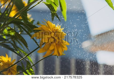 lobed rudbeckia (Golden ball) to the blurred background and the splash of rain