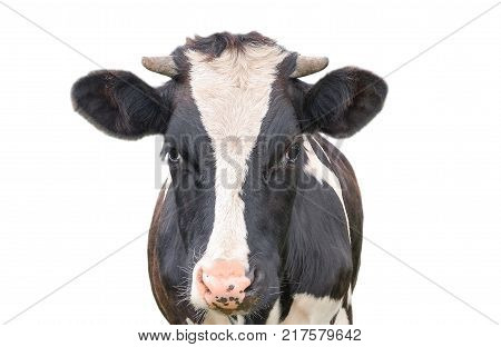 Funny cute cow isolated on white background. Looking at the camera black and white curious cow close up. Funny cow with big muzzle close up. Farm animal.