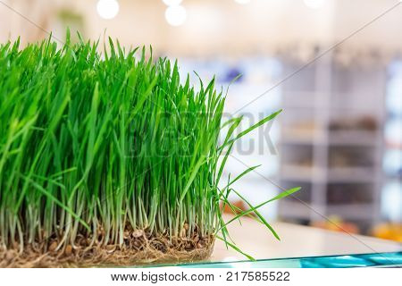 Fresh sprouts of cereals on the counter bioproducts store