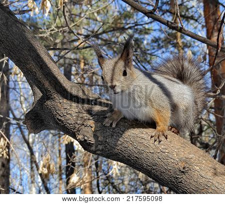 Eurasian red squirrel on a pine. Ordinary Squirrel (lat.Sciurus vulgaris) is the genus of rodents of the squirrel family.