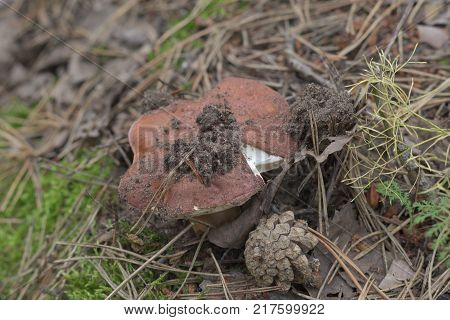 chestnut bolete next to fallen pine cone. cap of the mushroom characteristically ripped at the edge