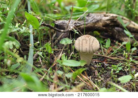 a common puffball in the wild nature