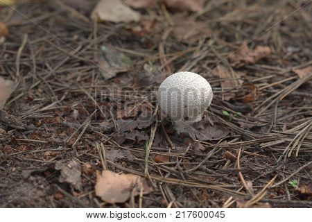 gem-studded puffball in wild nature among the dry pine needles