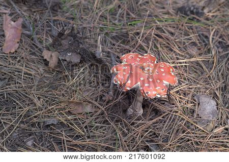 mature fly agaric with flat torn and spotted red cap