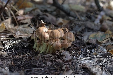 sulphur tuft. Mushrooms which grows by clusters