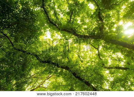 Sunlight Sifting Through The Leaves Of Big Banyan Trees