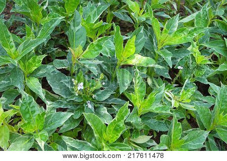 Background and Textured Beautiful Caricature or Graptophyllum Pictum Plants with Green and White Leaves for Garden Decoration.