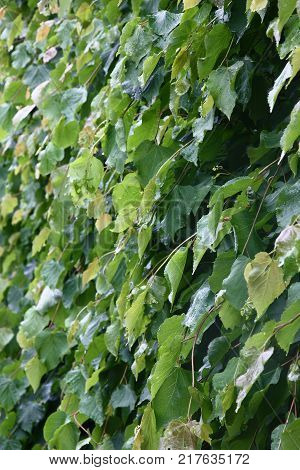 Young runaways and fresh leaves of densely planted lindens create the present barrier.