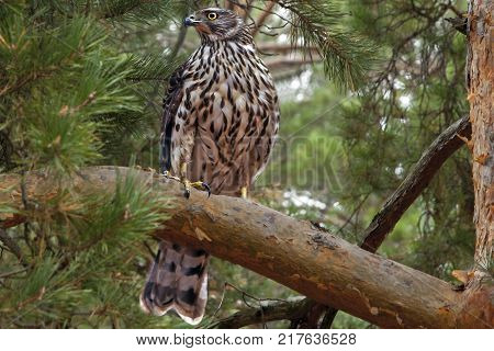 young hawk with beautiful plumage sitting on a tree branch in the woods, a predator hawk in the wild