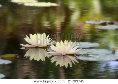 Two Lilies Floating in a Pond