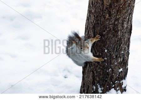 Eurasian red squirrel in grey winter coat with ear-tufts looks into the frame clinging to a pine trunk against the background of snow