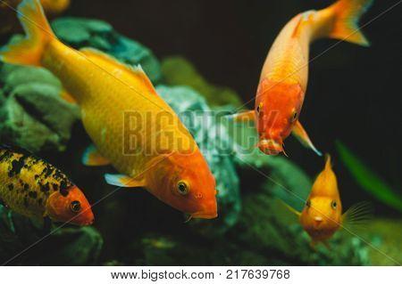 Gold aquarium fishes Carassius auratus swimming in fresh water