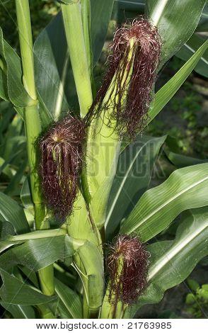 Corn Runaways.