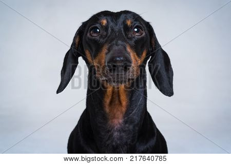 Close-up portrait of Dachshund black and tan on gray backgroundlooking in camera