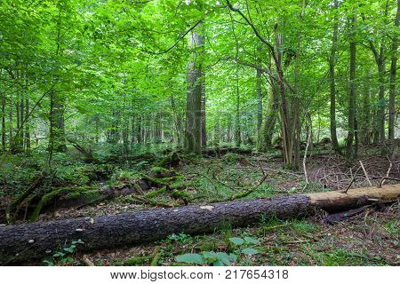 Fresh deciduous stand in summertime with dead broken spruce tree in foreground, Bialowieza Forest, Poland, Europe